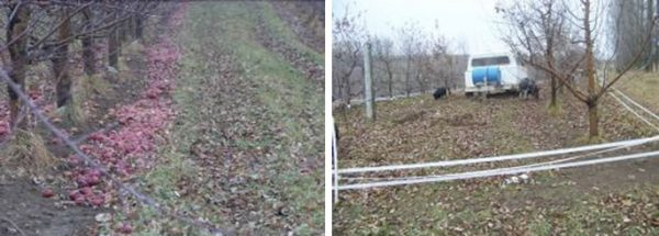 BEFORE: Apple drops before grazing. AFTER: The same row, after pigs grazed