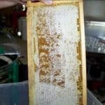 Cells full of honey with the wax cap intact