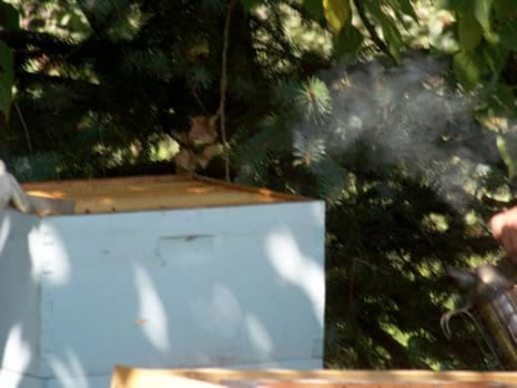 Smoking the box to calm the bees.