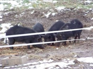 Pigs behind ribbon wire.